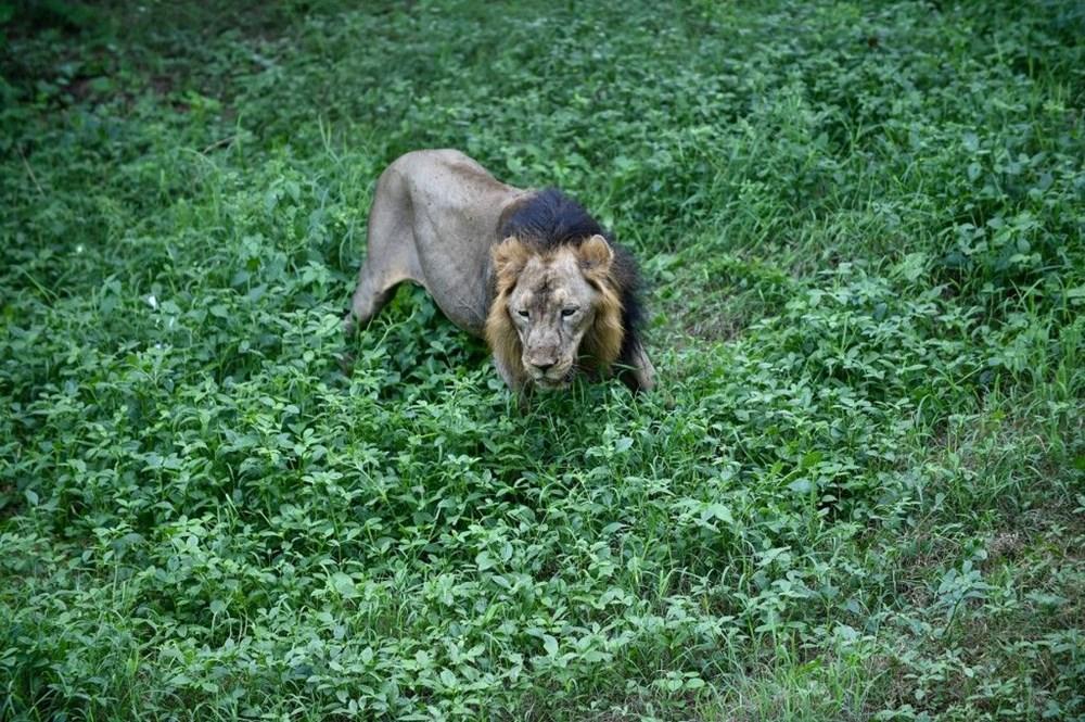 Hindistan'da Covid hayvanlara sıçradı, sekiz aslan virüse yakalandı - 5