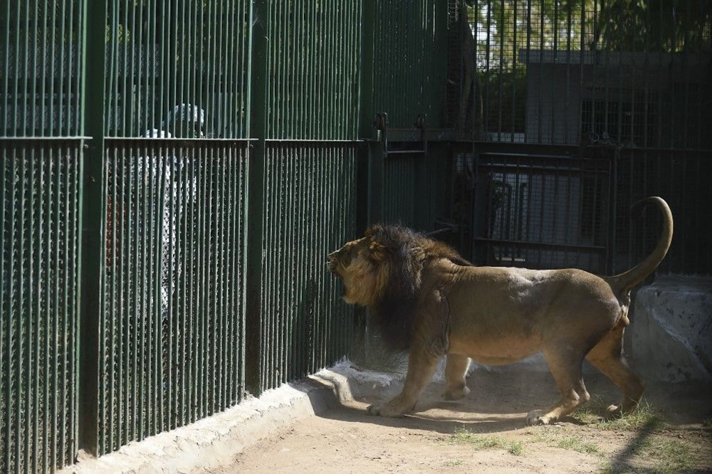 Hindistan'da Covid hayvanlara sıçradı, sekiz aslan virüse yakalandı - 7
