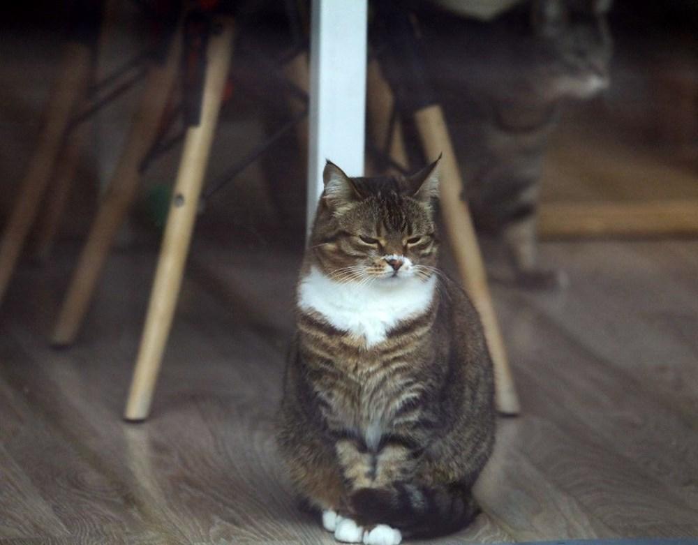 Araştırma: Karantina nedeniyle kediler insanlardan bıktı, sakinleştirici kullanıyorlar - 6