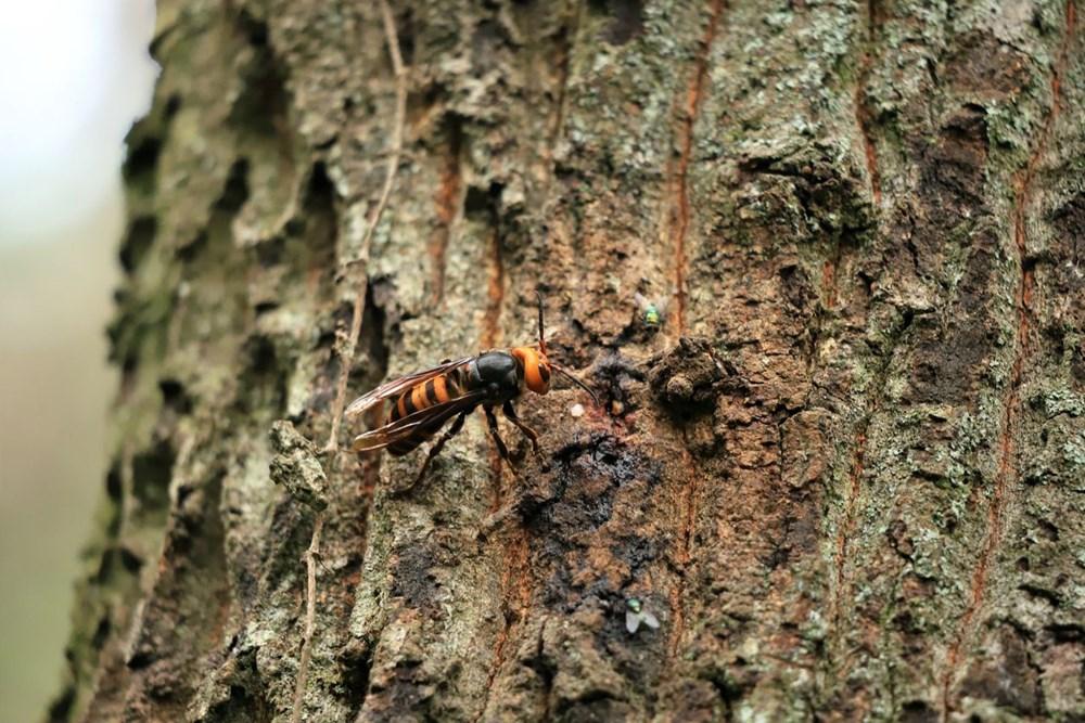 Kabus bitmedi: Katil eşek arıları ABD'ye geri döndü - 5