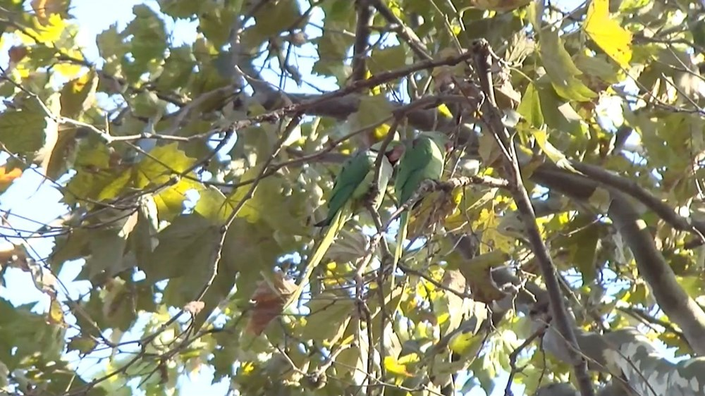 İstanbul'da yeşil papağan sayısı artıyor - 5