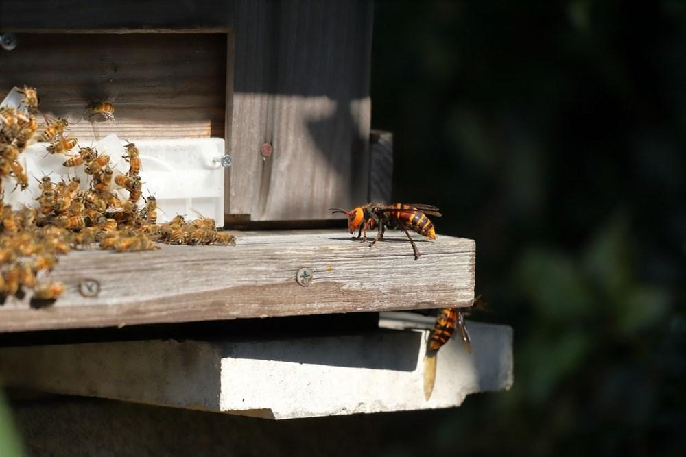 Kabus bitmedi: Katil eşek arıları ABD'ye geri döndü - 6