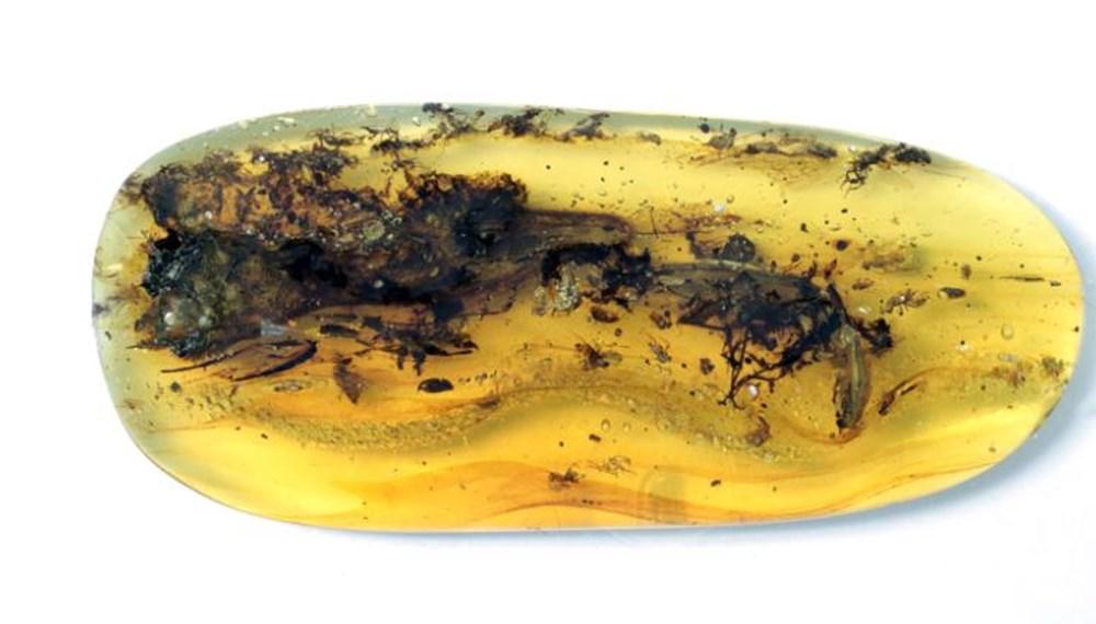 """""""Dünyanın en küçük dinozoru"""" olarak ünlenen 99 milyon yaşındaki fosilin farklı bir örneği bulundu - 2"""