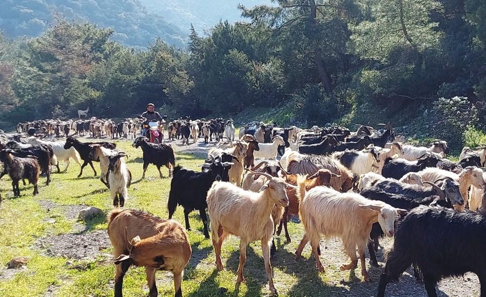Bodrum'un drone'lu çobanı: Adım adım izliyor - 3