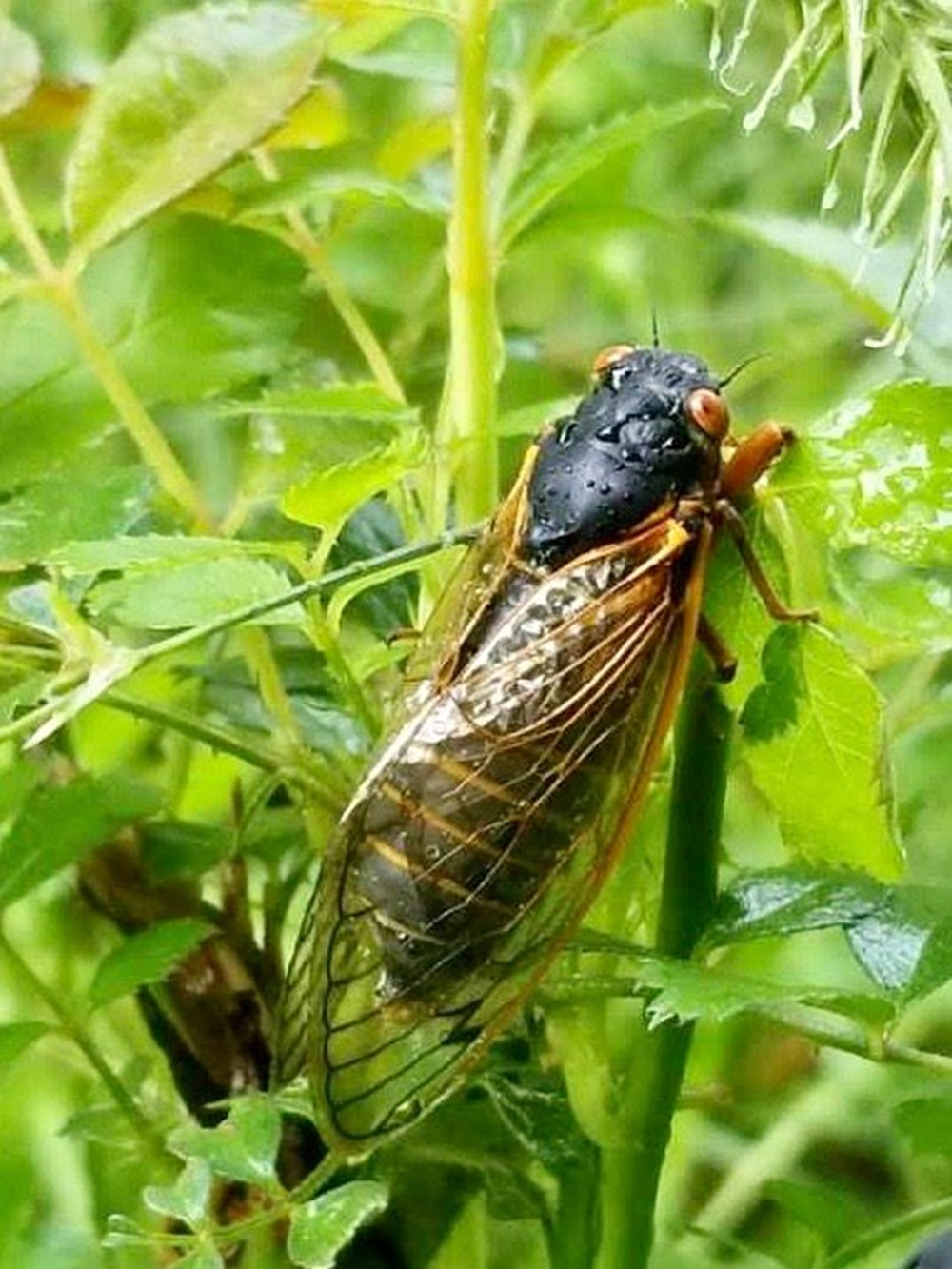 ABD'de corona virüsün ardından zombi ağustos böceği tehlikesi - 3