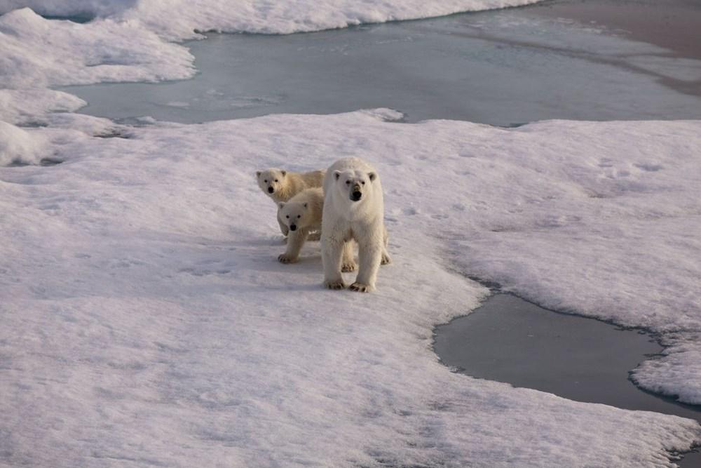 Danimarkalı yetkililerden tepki çeken karar: Kutup ayısını vurabiliriz - 9