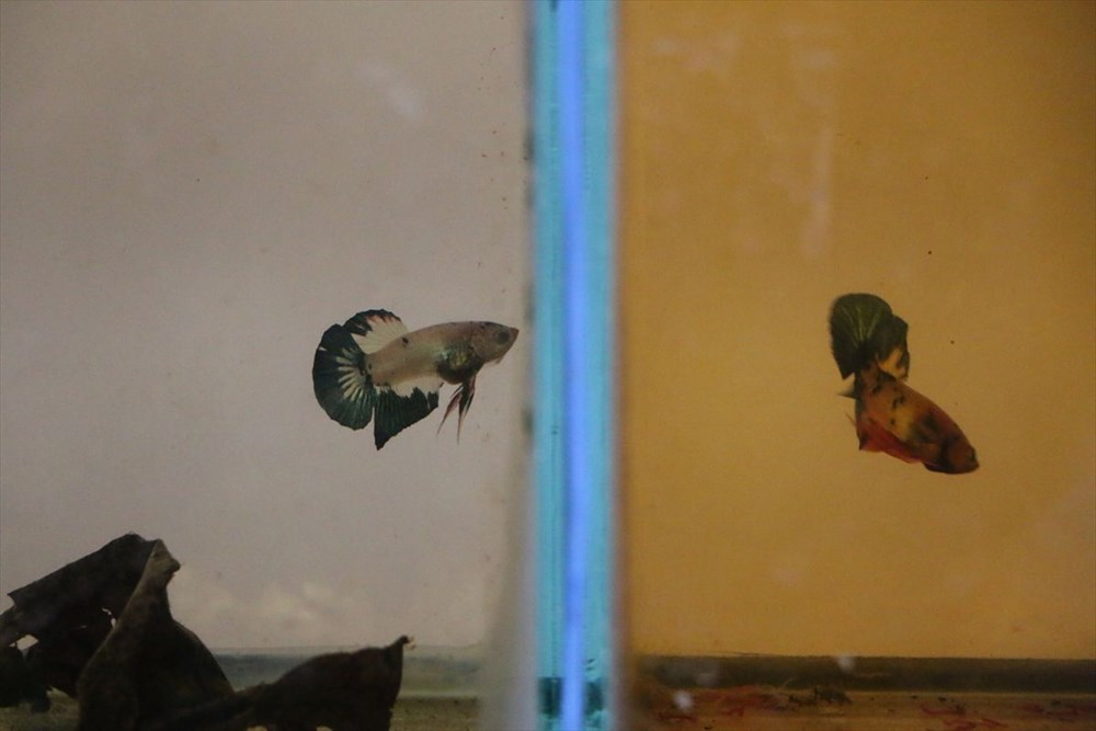 Betta balıkları yarışma için 'kuaförde' güzelleşiyor - 19
