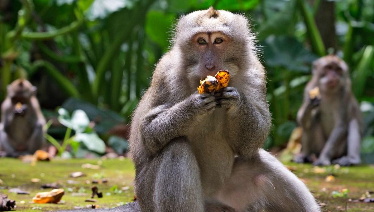 Maymunlar, turistler olmayınca Bali'de evleri yağmaladı