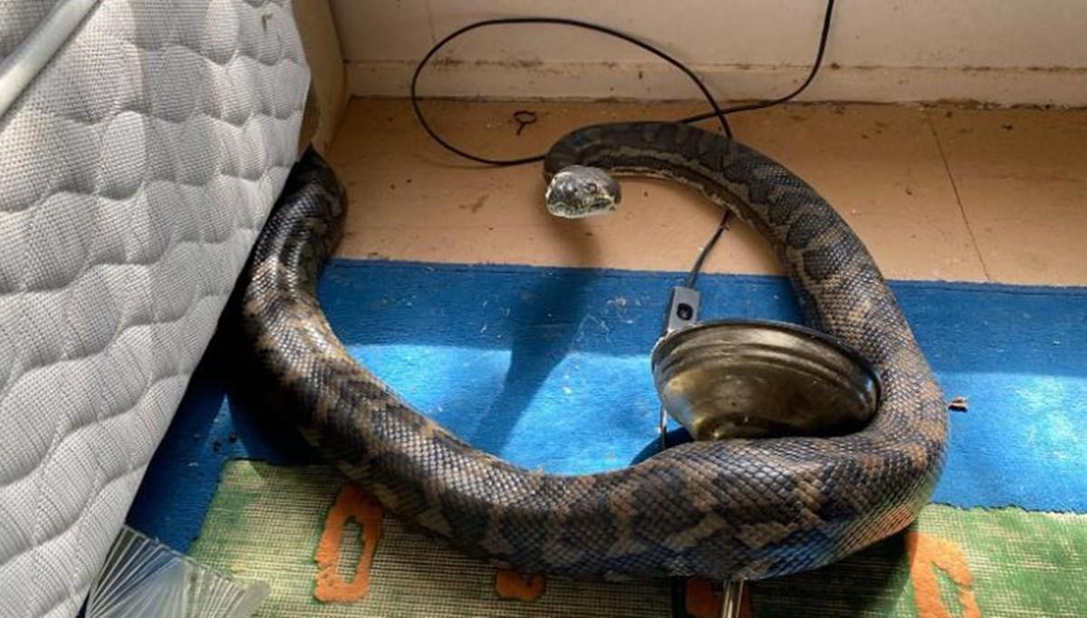 Avustralya'da iki piton yılanı mutfak tavanını çökertti