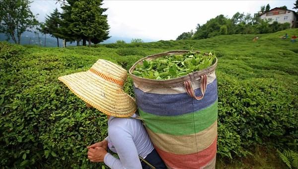 Çay hasadı için çözüm aranıyor