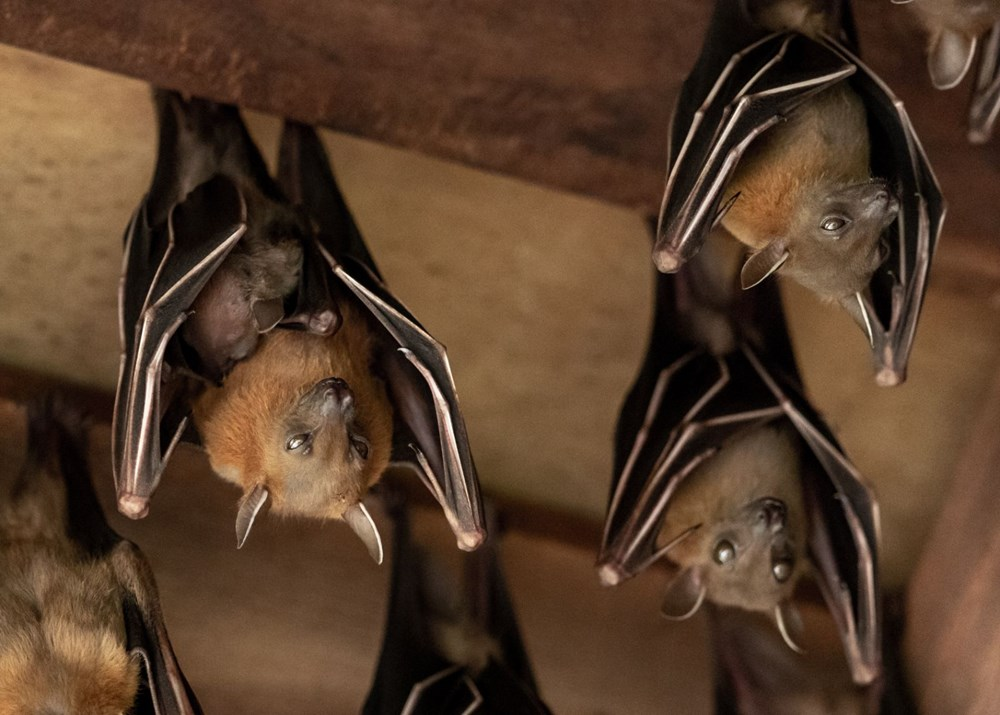 İsviçre'deki yarasaların, insanlarda hastalığa neden olabilecek onlarca virüse sahip olduğu ortaya çıktı - 8
