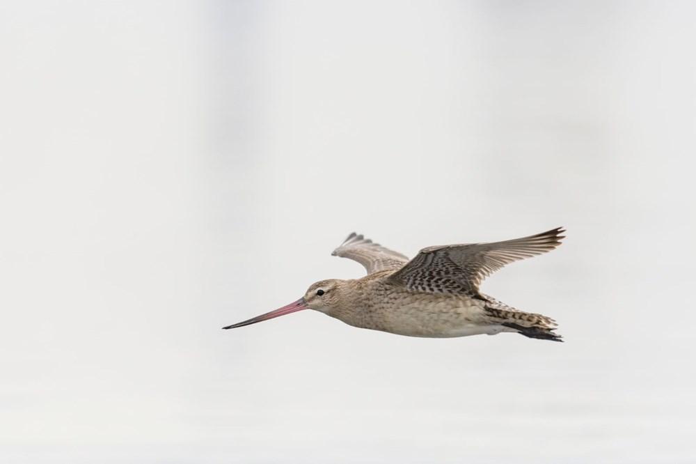11 gün boyunca aralıksız olarak 12 bin kilometre uçan kuş dünya rekoru kırdı - 4