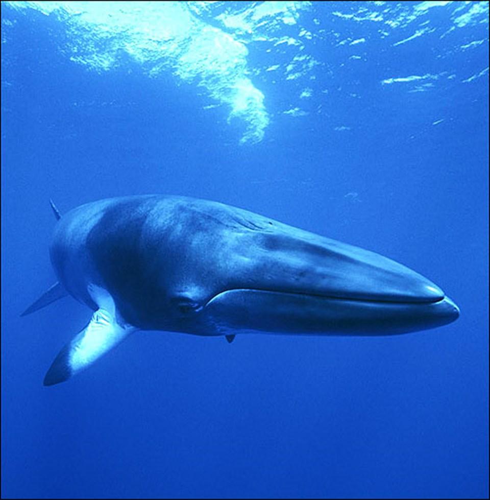 Bir Minke balinası.