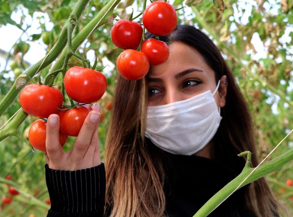 Hava sıcaklığının eksi 40'a kadar düştüğü Çaldıran'da, serada domates üretimi - 6