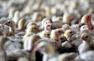 Güney Kore'de kuş gribi alarmı