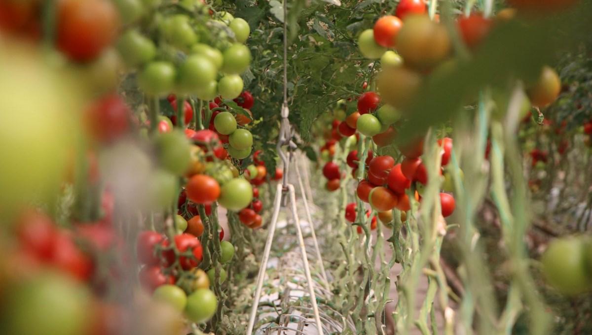 Elazığ'da topraksız tarım ile domates üretimi