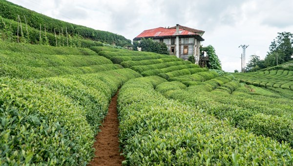 Yaş çay ürünü için kilogram başına 13 kuruş fark ödenecek