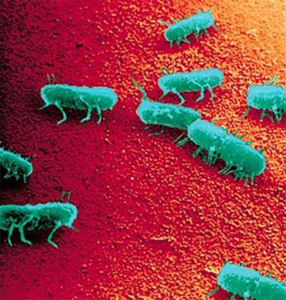 Salmonella dirigida