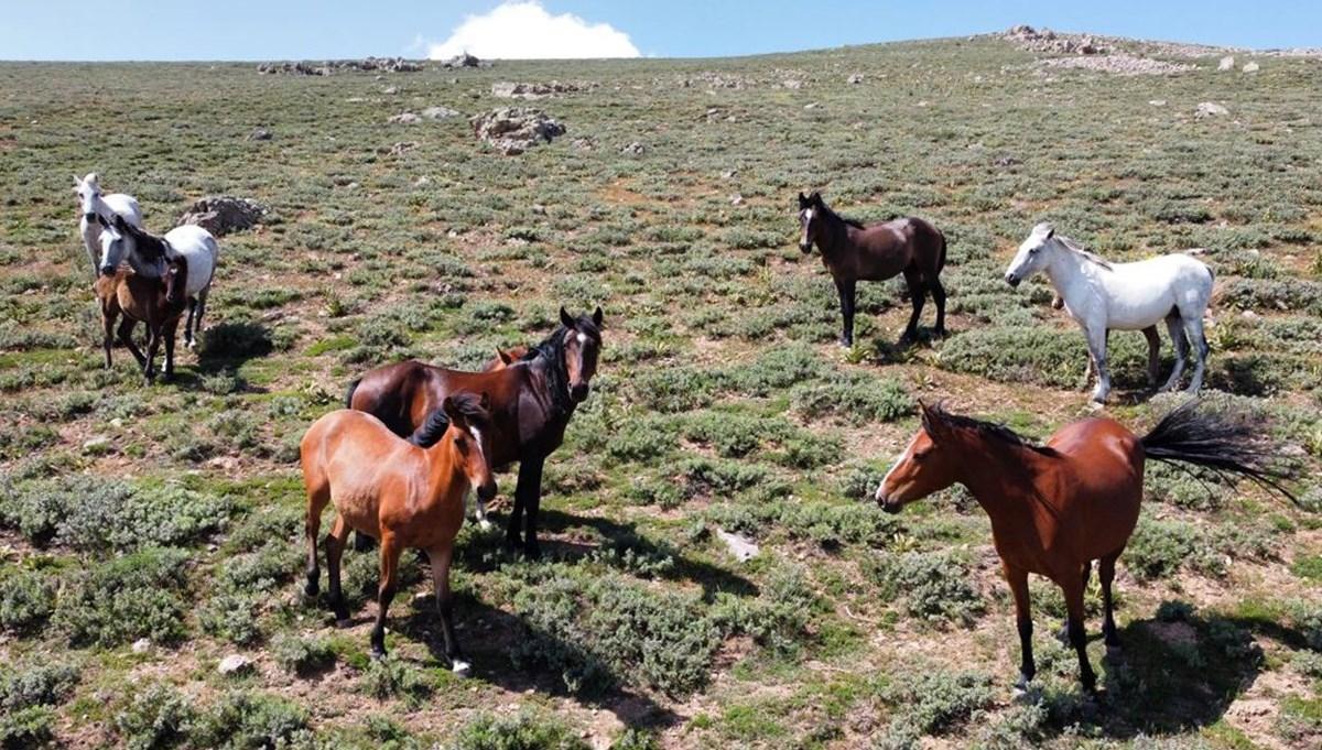 Özgürlüğün sembolü 'Yılkı atları' 2 bin 300 rakımlı yaylada havadan görüntülendi