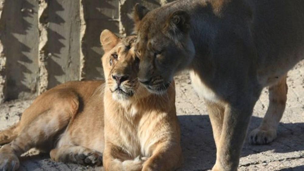 Hindistan'da bir aslanın Covid-19'dan ölmesinin ardından 28 fil corona virüse yakalandı - 2