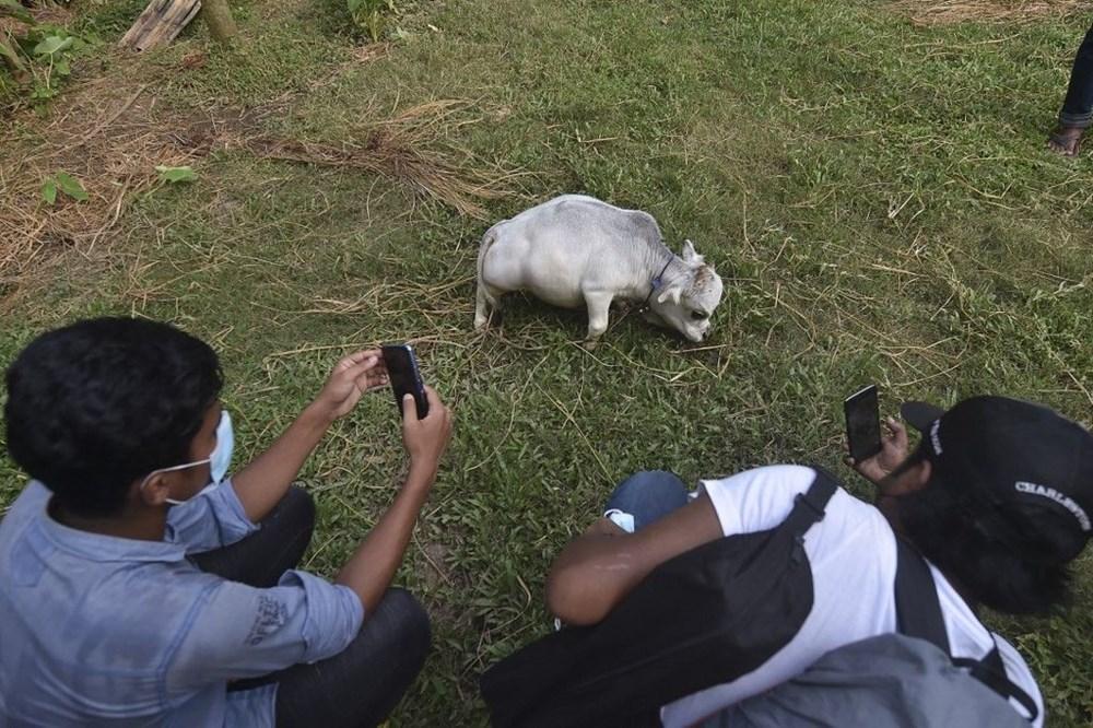 Binlerce kişi cüce ineği görmek için akın etti: Halk sağlığını tehdit ediyor - 10