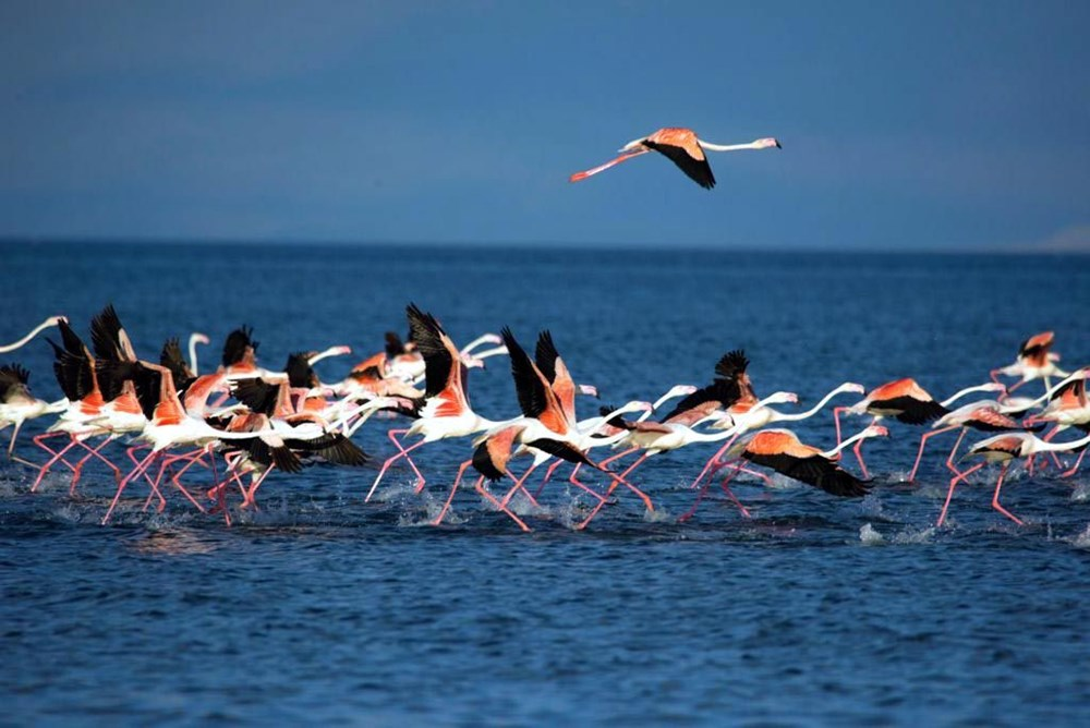 Van Gölü'nde flamingo şöleni - 2