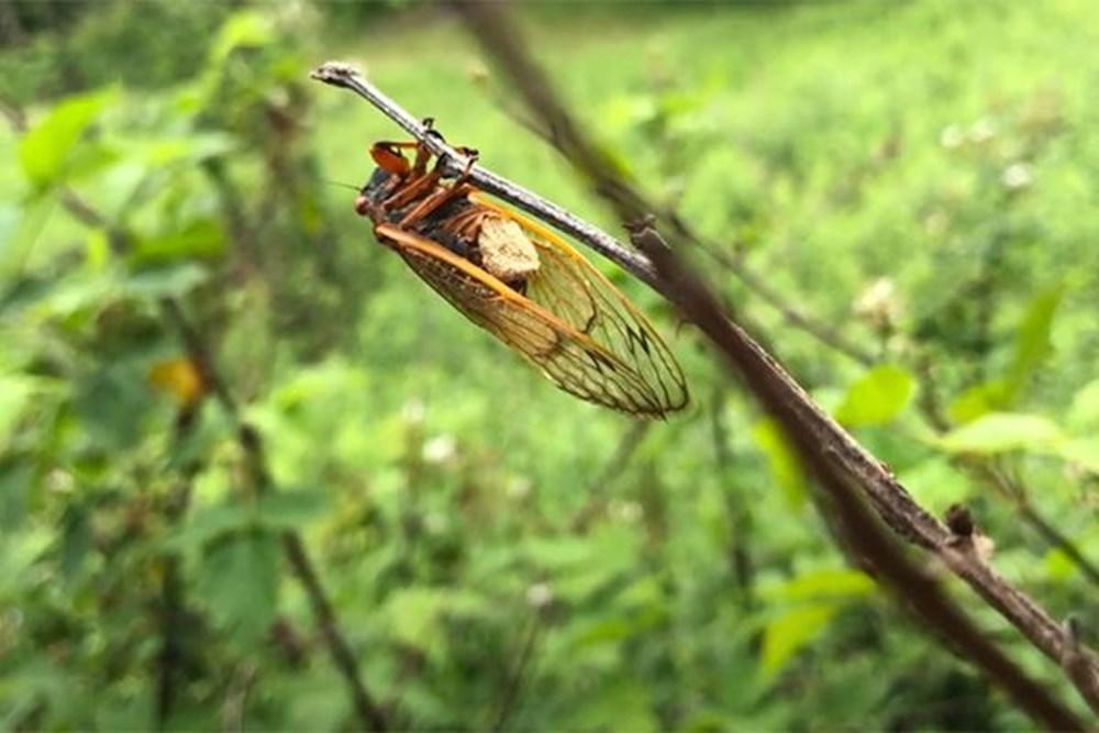 ABD'de corona virüsün ardından zombi ağustos böceği tehlikesi - 2