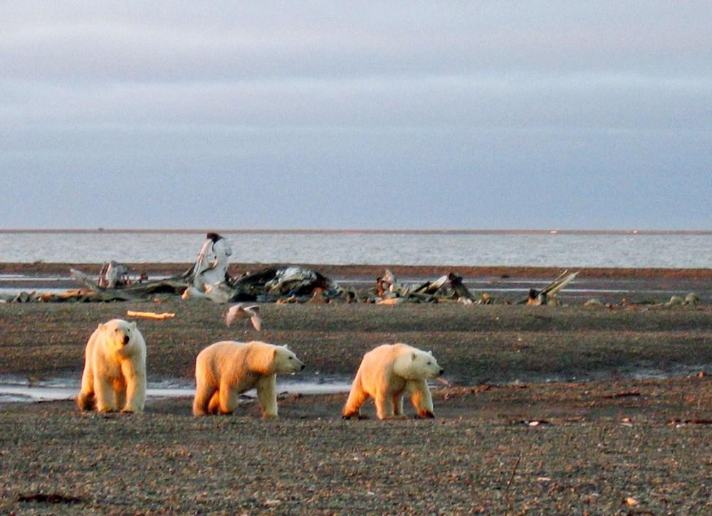 Danimarkalı yetkililerden tepki çeken karar: Kutup ayısını vurabiliriz - 4
