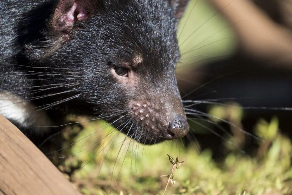 Tazmanya canavarı 3 bin yıl sonra Avustralya ana karasında doğdu: Yavru Joey dünyanın geleceğine dair umutları artırdı - 7