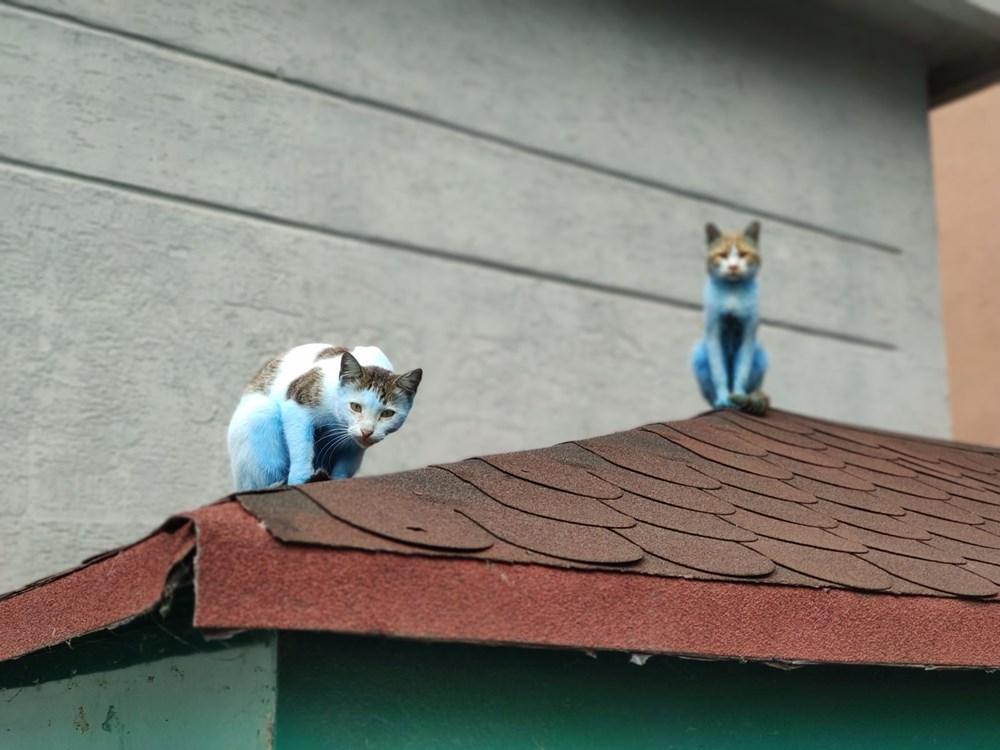 Mavi kediler görenleri şaşırttı - 3