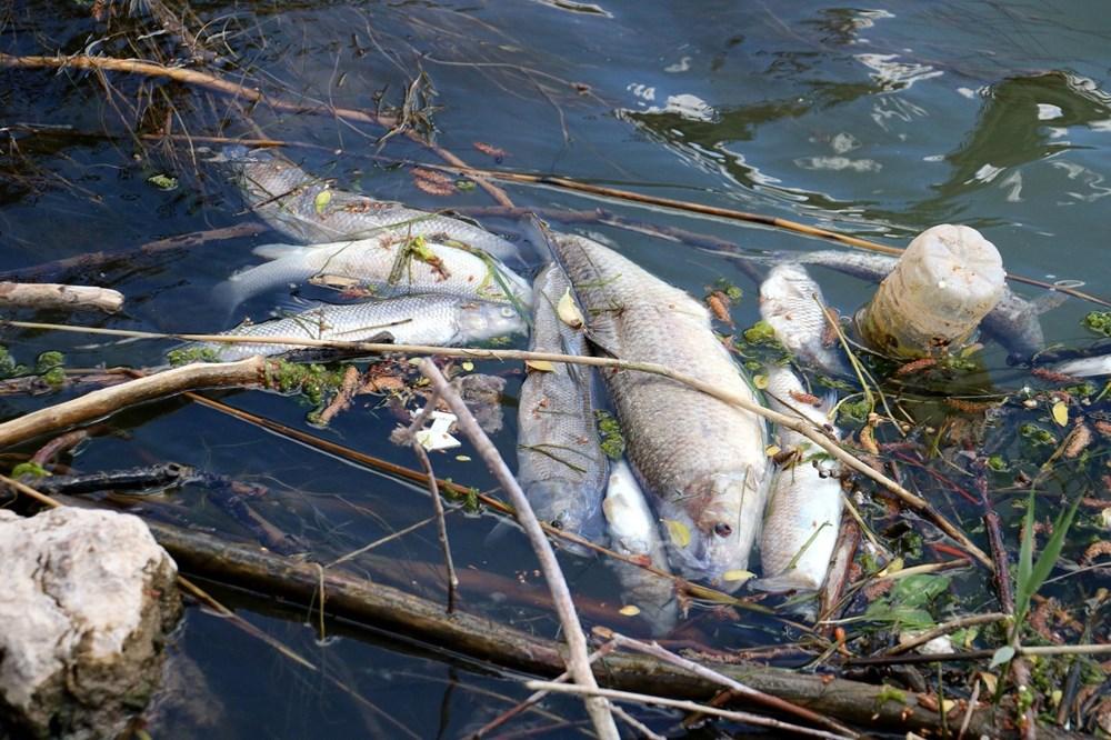 Türkiye'nin en uzun nehri Kızılırmak'ta toplu balık ölümleri - 1