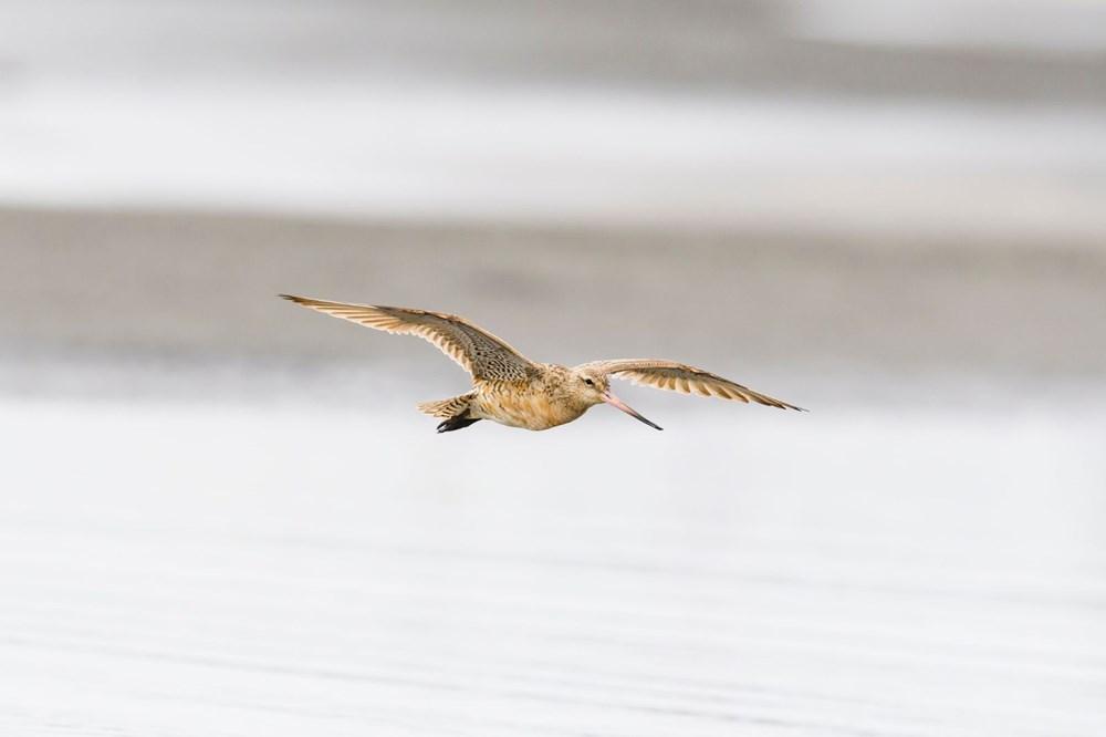 11 gün boyunca aralıksız olarak 12 bin kilometre uçan kuş dünya rekoru kırdı - 3