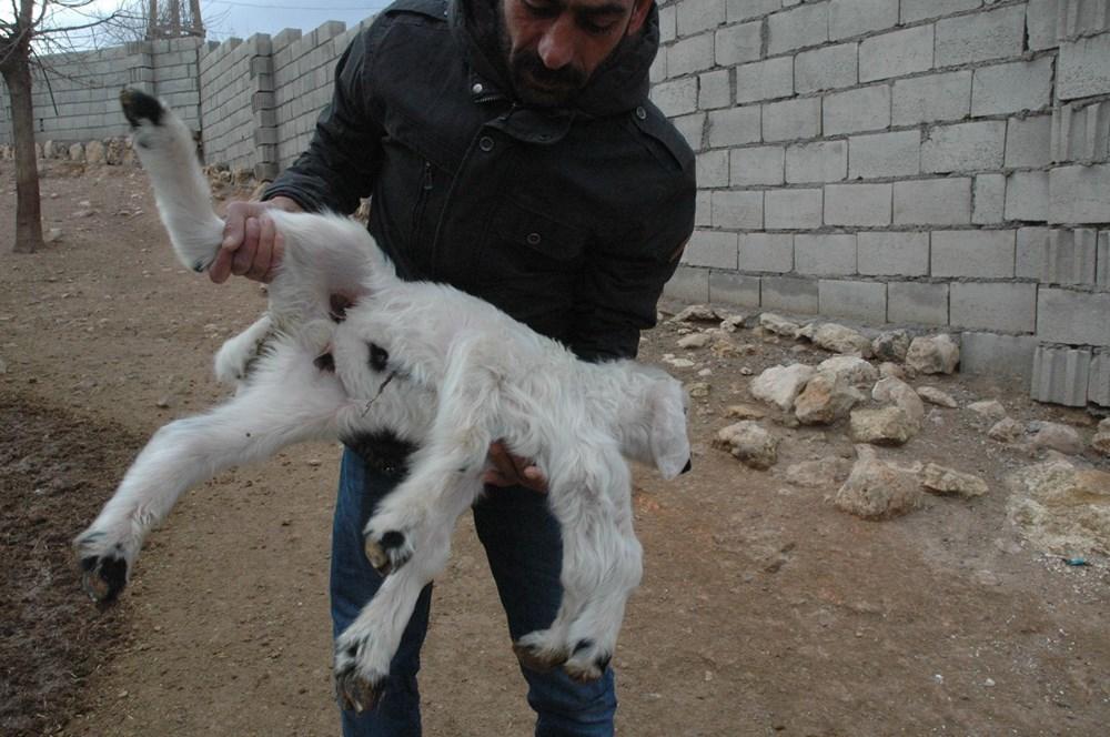 Diyarbakır'da 6 ayaklı doğan kuzu görenleri şaşırtıyor - 2