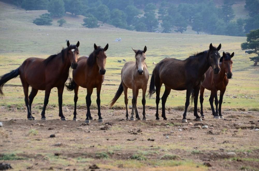 Soyları Osmanlı süvari birliğine dayanıyor! Torosların vahşi güzelliği 'Yılkı atları' - 4