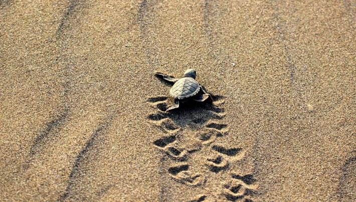 2019'da 537 bin deniz kaplumbağası denizle buluştu