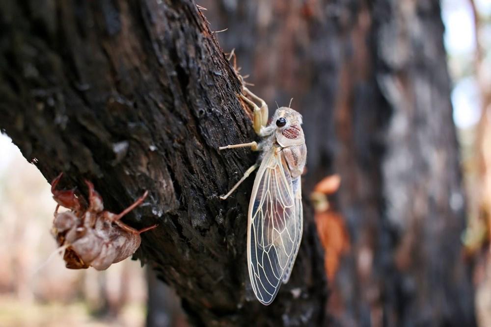 ABD'de corona virüsün ardından zombi ağustos böceği tehlikesi - 7