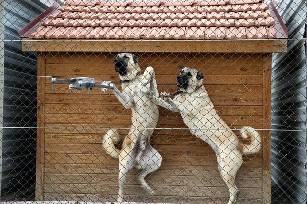 Sivas Kangal köpeklerinin genetiği çiple korunuyor - 9
