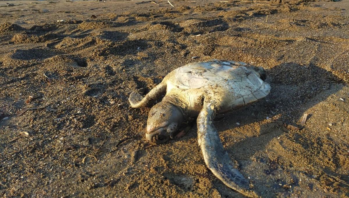 Meksika'da sahilde 351 caretta caretta ölüsü bulundu