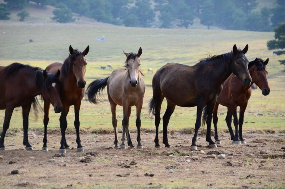 Soyları Osmanlı süvari birliğine dayanıyor! Torosların vahşi güzelliği 'Yılkı atları' - 12