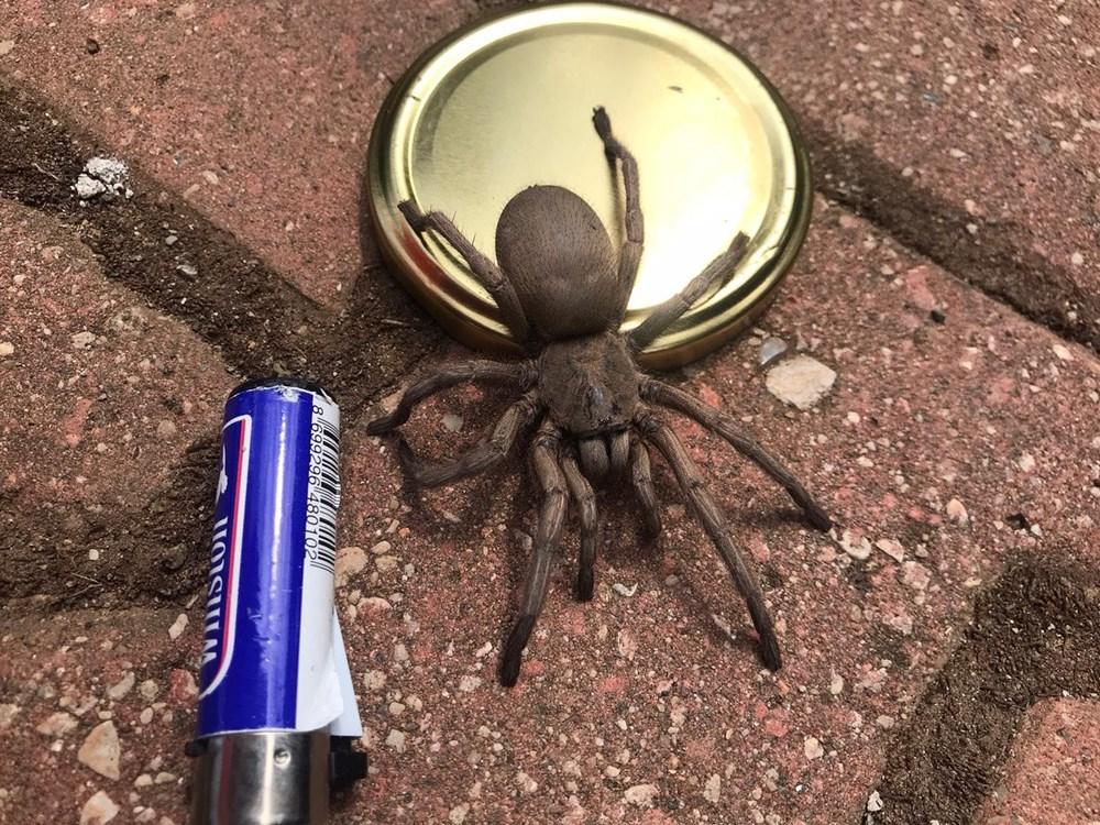 Osmaniye'de dev örümcek paniği - 4