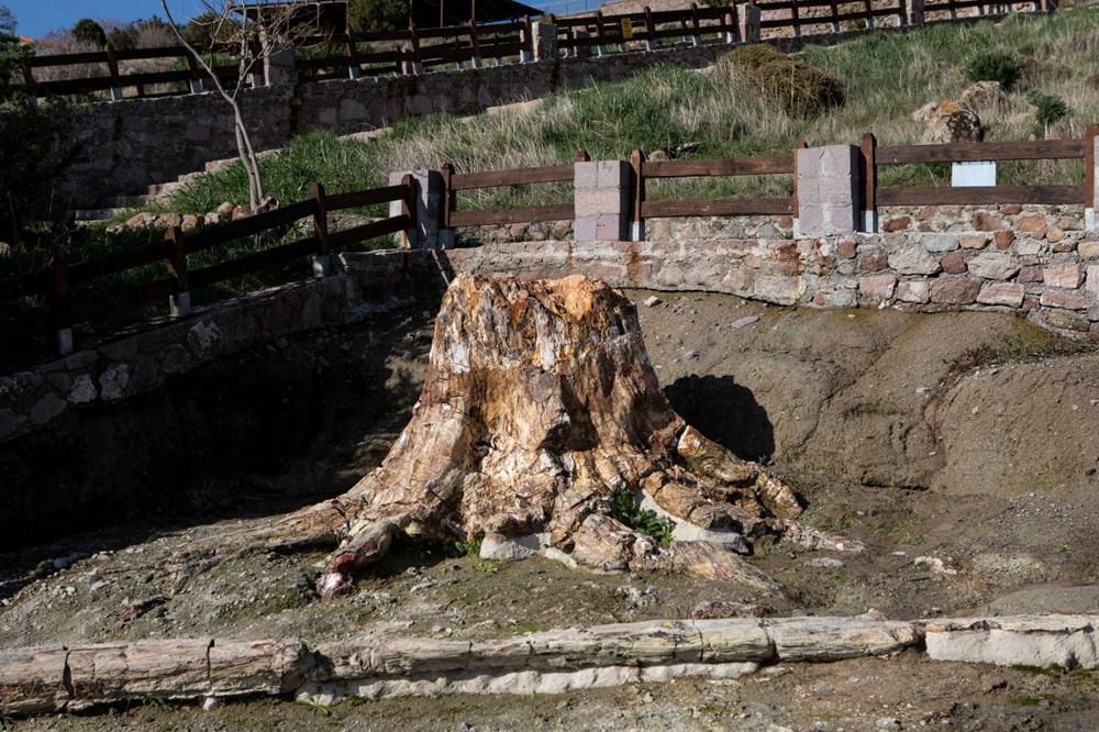 Yunanistan'da 20 milyon yıllık taşlaşmış ağaç bulundu - 7