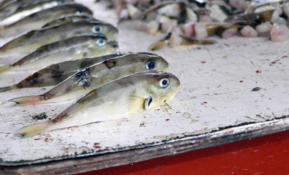 Balıkçılar balon balığının diğer türlerine de kuyruk parası istiyor - 8