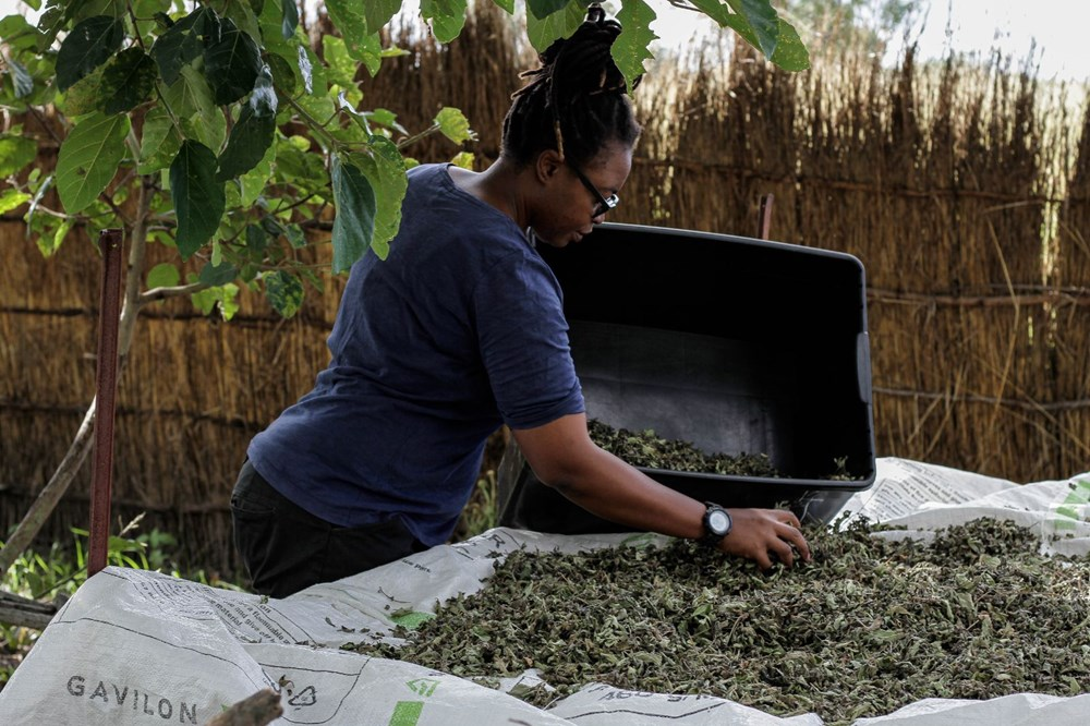The plant that the African country hopes for, Zumbani: We would be dead if we didn't use it - 8