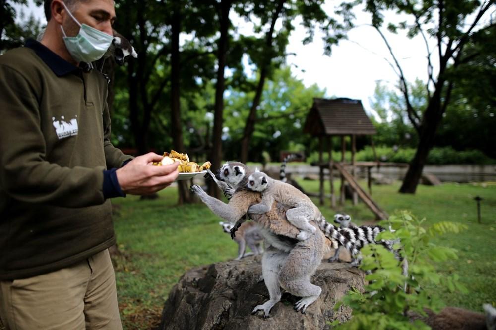 Bursa'daki lemur ailesi büyüyor - 5