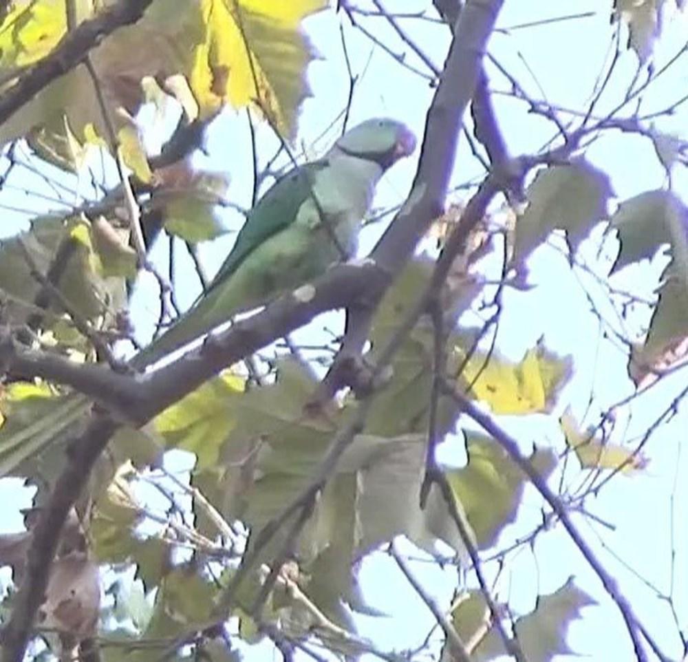 İstanbul'da yeşil papağan sayısı artıyor - 6