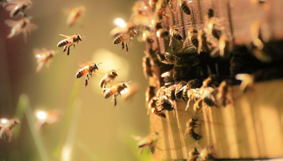 Bilim insanları arılara corona virüsü koklamayı öğretti: Saniyeler içinde tespit ediyorlar