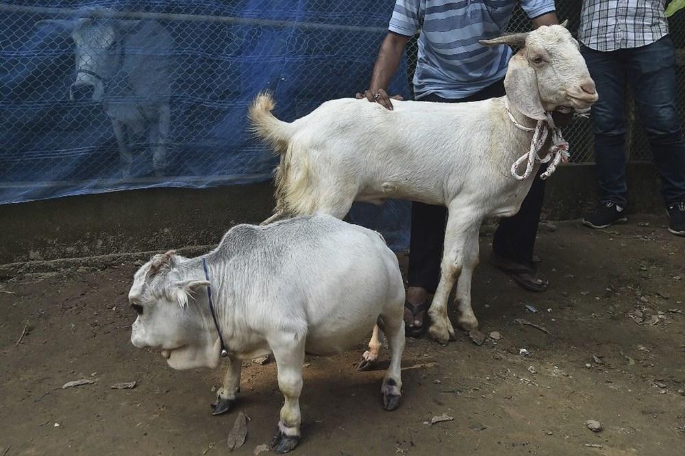 Binlerce kişi cüce ineği görmek için akın etti: Halk sağlığını tehdit ediyor - 6