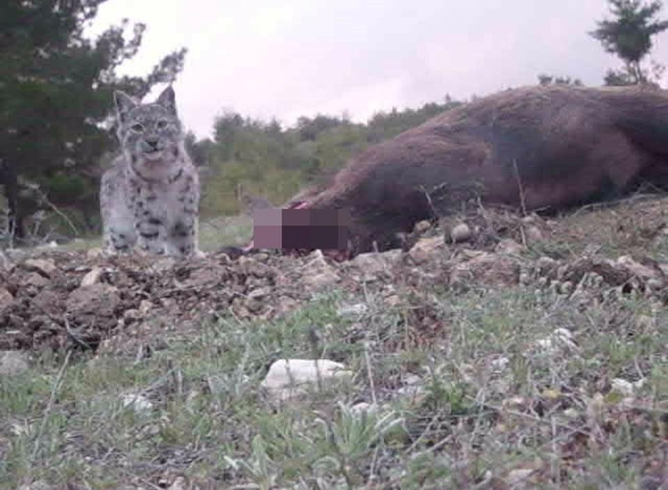 Vaşak, kendi boyundan 3-4 kat daha büyük avları yakalayabilen az sayıdaki kedi türünden biri olma özelliği taşıyor.