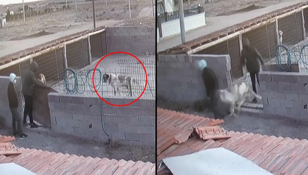 Aksaray Malaklısı'nı böyle çaldılar: Bir ayda 15 köpek çalındı
