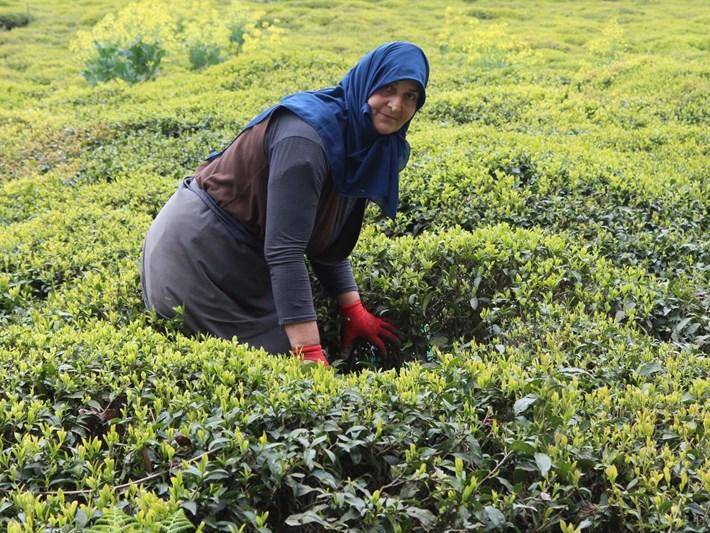 Çay hasadında 44 maddelik acil eylem planı